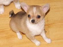 Lovable Chihuahua Puppies for Re-Homing