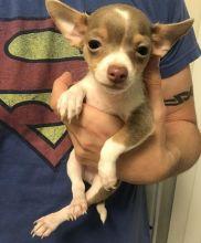 Smart Akc Reg Chihuahua Puppies