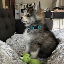 Akc registered Pomsky puppies