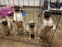Priceless White Pug Puppy For Adoption