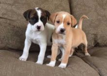 Male/Female Boxer Puppies Now Ready For Adoption Image eClassifieds4U