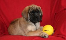 2 beautiful Bullmastiffs Puppies For Sale