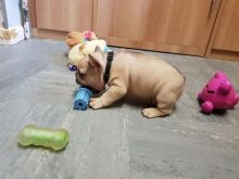 AKC quality French Bulldog Puppy for free adoption!!!