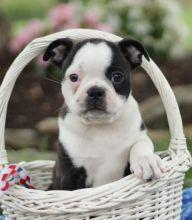╬╬ Astounding ☮ Boston Terrier ☮ Puppies Now ♥‿♥ Ready ♥‿♥ For Adoption ╬╬