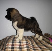 Cute Akita Puppies Available Now For free