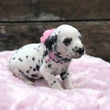 Dalmatian Puppies for Adoption