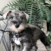 Miniature Schnauzer Puppies For free