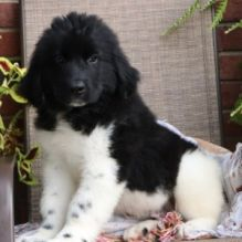 Newfoundland Puppies For adoption
