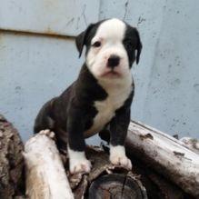 Quality Registered American Bulldog Puppies