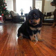 Awesome Rottweiler Puppies for Adoption Image eClassifieds4U