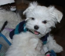 Healthy Male and Female Maltese puppies Image eClassifieds4U