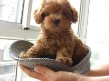 Rescue & Adoption: Adopt a Poodle Image eClassifieds4U