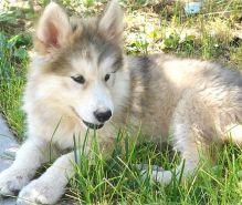 Wolf Hybrid Puppies For Sale : Kamloops eClassifieds 4U