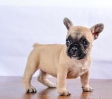 Affectionate French Bulldog Puppies For Adoption