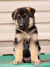 AKC German Shepherd Puppies for Adoption
