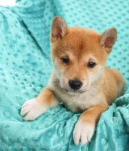 Astonishing Shiba Inu Puppies Now Ready