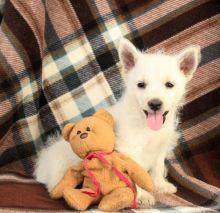 Healthy Pembroke Welsh Corgi Puppies for Adoption