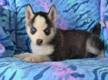 Pedigree Siberian Husky Puppies for Re-Homing
