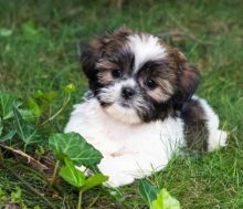 Male/Female Shih Tzu Puppies for Re-Homing