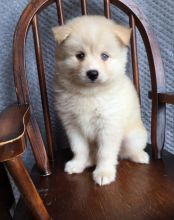 Adorable Pomsky Puppies for Re-Homing Image eClassifieds4U