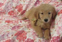 Adorable Golden Retriever Puppies For Sale