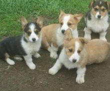 Pembroke Welsh Corgi Puppies available ✔ ✔ ✔ Email at ⇛⇛ ( marcbradly1975@gmail.com )