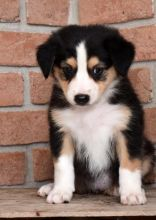 ✔ ✔ Remarkable ☮ Ckc ☮ Australian Shepherd ☮ Puppies ☮ Available ✔ ✔