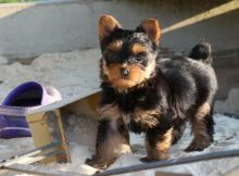Enchanting Teacup Yorkie Puppies For Adoption