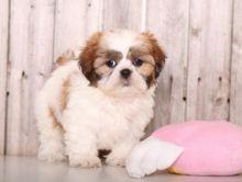Eye-catching Shih Tzu Puppies For Re-Homing