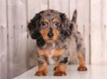 ╬╬╬ Intelligent ✔ Ckc ✔ Dachshund ✔ Puppies ✔ For Re-Homing╬╬╬