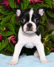 Remarkable Boston Terrier Puppies