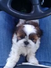 Shih Tzu puppies available Call or text at ☎ (574) 216-3805 ☎