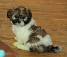 Shih Tzu puppies for sale in good home///(204) 818-4386