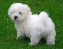 Bichon Frise Puppies available ✔ ✔ ✔ Email at ⇛⇛ ( marcbradly1975@gmail.com )