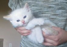 Cute 🎅 Lovely 🎅 Ragdoll Kittens 🐕 For Adoption 🎄🎄Text or call (708) 928-5512