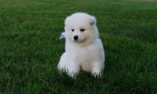 Samoyed Puppies available ✔ ✔ ✔ Email at ⇛⇛ ( marcbradly1975@gmail.com )
