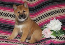 Shiba Inu Puppies available ✔ ✔ ✔ Email at ⇛⇛ ( marcbradly1975@gmail.com )