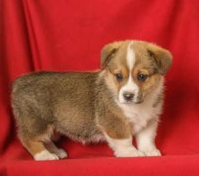 Welsh Corgi Puppies For Adoption