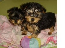 Cute Yorkie Puppies For Adoption 🎄🎄Text or call (708) 928-5512 Image eClassifieds4U