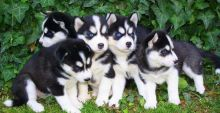 4 cute Male and female Siberian Husky puppies