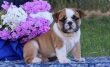 Absolutely Stunning English Bulldog Puppies Anxiously Waiting For A New Home