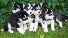 Siberian Husky Puppies available ✔ ✔ ✔ Email at ⇛⇛ ( marcbradly1975@gmail.com )