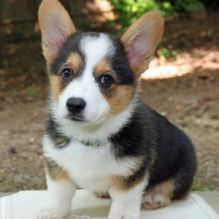 Welsh corgi puppies for adoption