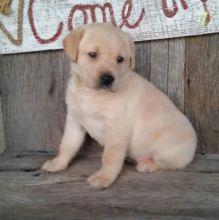 Yellow Labrador Retriever Puppies For Adoption