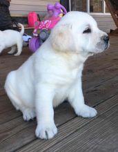 Well trained Labrador retriever for free adoption