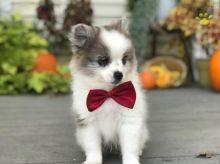 ☂️☂Ckc ☮ Pomeranian 🐕 Puppies ☂️☂Email at us ⇛⇛ [gotze025@gmail.com ]