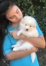 ☂️☂Ckc☮ Pomsky ☮ Puppies For Adoption 🎄🎄Email at ⇛⇛ [gotze025@gmail.com ]