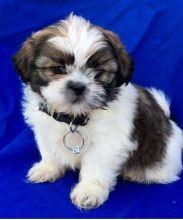 ☮ Ckc ☮ Shih Tzu Puppies 🐕 ☂️☂Email at us ⇛⇛ [gotze025@gmail.com ]