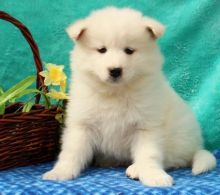 🎅 Samoyed Puppies ☮ Ready ️☂Email at us ⇛⇛ [gotze025@gmail.com ]