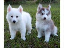 Healthy Male and Female Pomsky puppies